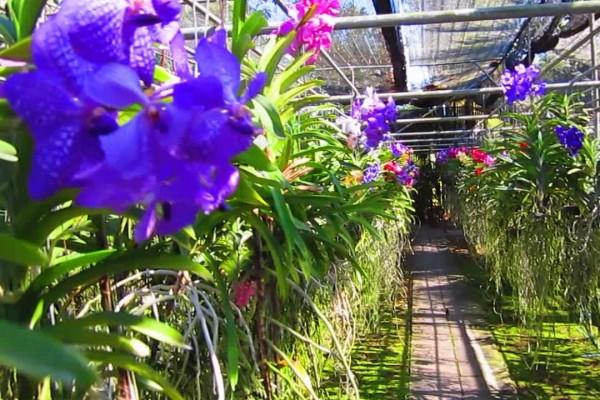 Orchid Farm, Orchid farm in Mae Tang, Thailand.