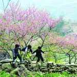 Children in Lac village, Mai Chau play with peach blossom