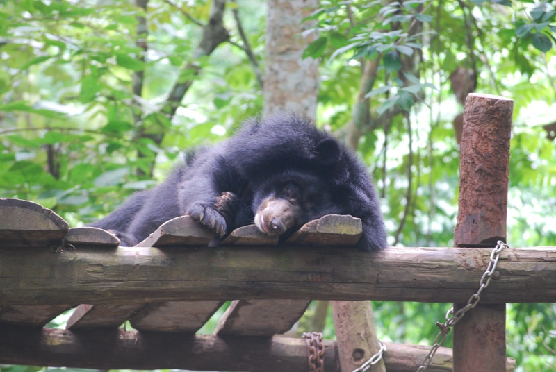 Bear Sanctuary Travel Guide Tours Luang Prabang Laos