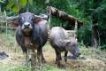 Buffalo in Ban Thin Som Village, Luang Prabang, Laos