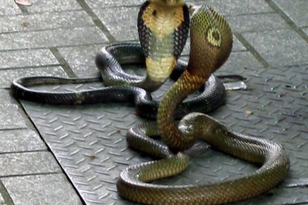 Snake Farm, Bangkok, Thailand